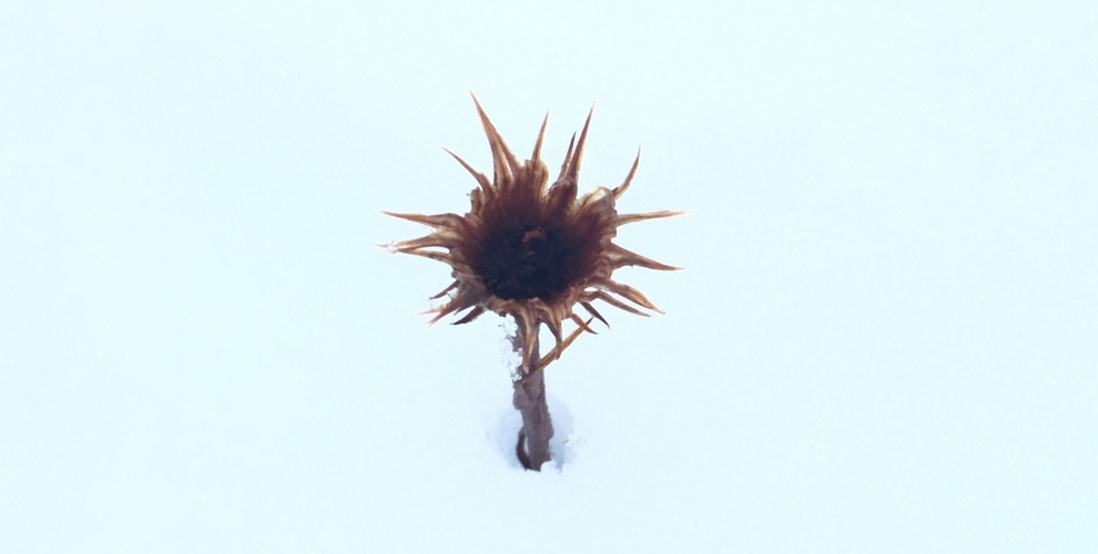 A winter flower buried in snow.